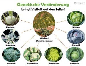 Fast alle heute erhältlichen Kohlsorten gehen auf den Wildkohl (Brassica oleracea). Durch Selektion auf unterschiedliche Merkmale wurden daraus Kohlrabi, Rosenkohl, Wirsing & Co.