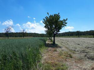 Agroforstsystem mit Obst, Acker und Grünland in Franken